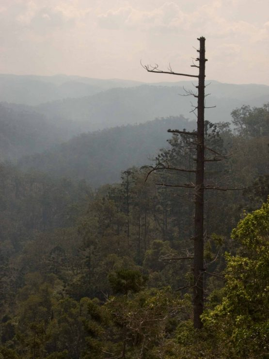 View from rail trail, Boyne Valley smokey with large dead pine tree in foreground and ranges behind